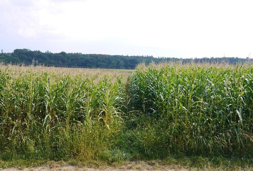 Der Mais auf der behandelten Fläche ist deutlich höher und vitaler.