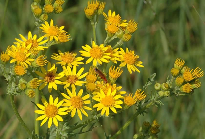 Kreuzkraut (Senecio jacobaea) Chiemgau Agrar