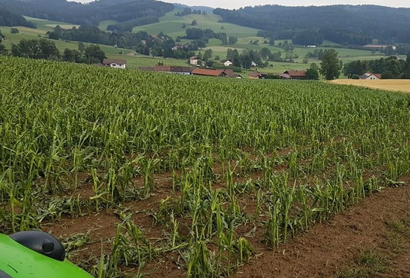 Der behandelte Mais hat sich nach dem Hagelschaden wieder erholt.