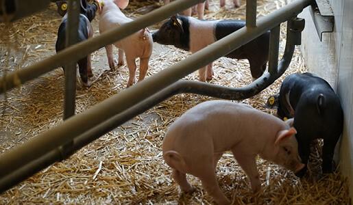 Tierhaltung-Schweine-Ferkelerzeugung