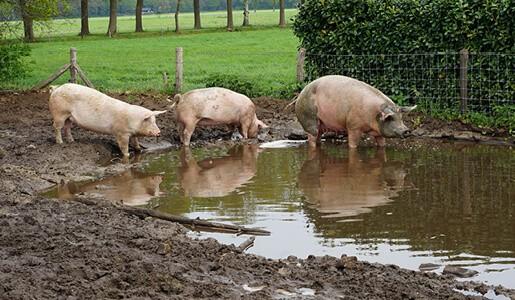 Tierhaltung-Schweine-Mastschweine