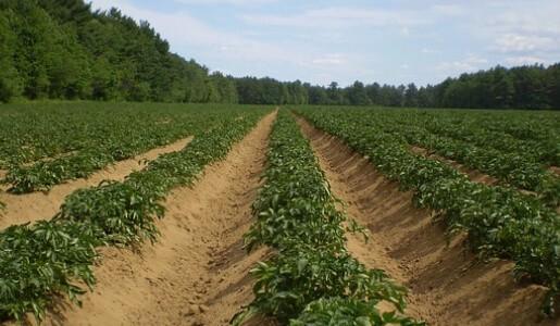 ackerbau-kartoffeln