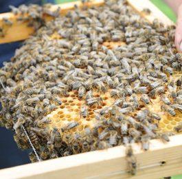 EM Anwendung bei Bienen