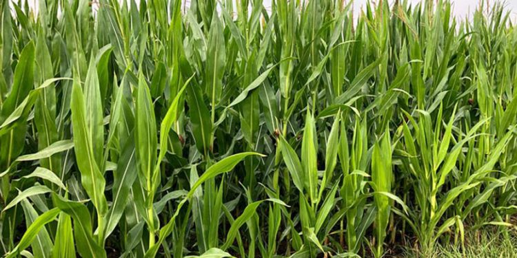 Maisanbau mit EM - Chiemgau agrar