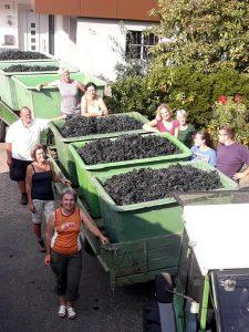 Reiche Erträge beim Weinanbau mit Effektiven Mikrrorganismen