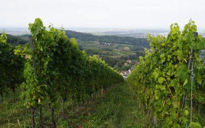 Weinanbau Regenerativ