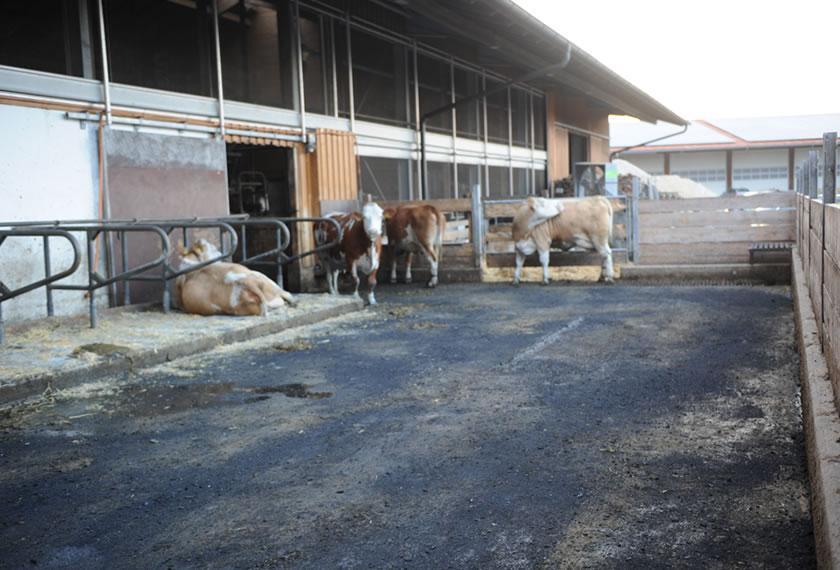 Gesunde und langlebige Rinder mit EM-Anwendungen