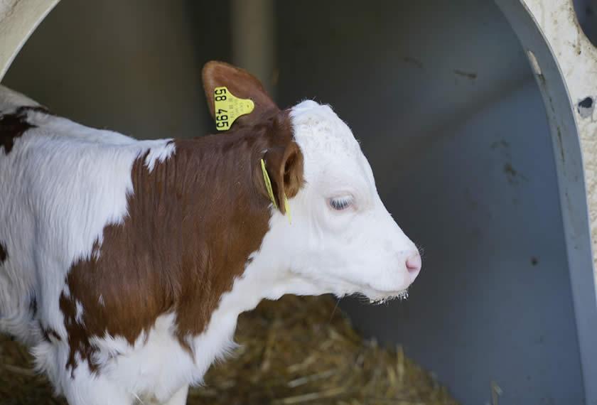 Gesunde Kälber - leistungsstarke Kühe