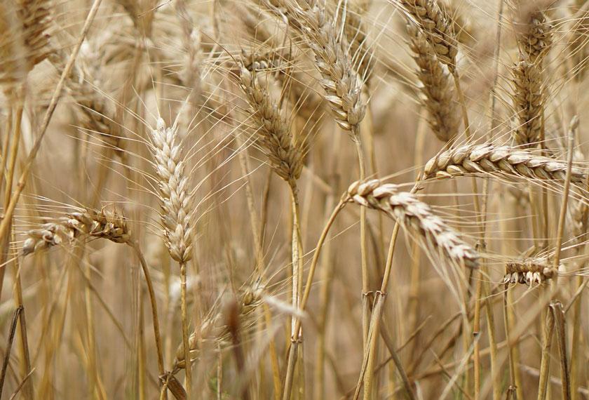 Pflanzenstaerkung-Getreide_Beitragsbild_Chiemgau-Agrar