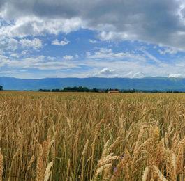 Pflanzenstaerkung-Getreide_Chiemgau-Agrar