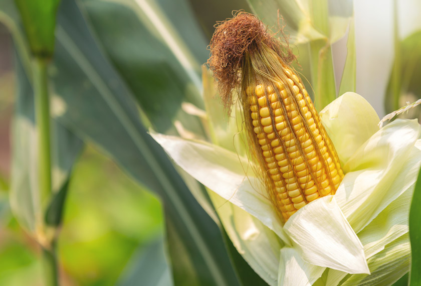 Pflanzenstärkung mit EM: Sie sieht gesunder Mais aus.