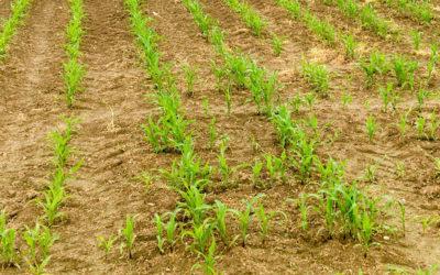 Pflanzenstaerkung-Mais_Headerbild_Chiemgau-Agrar