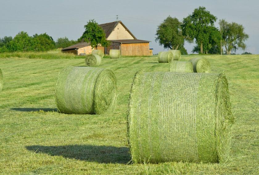 Gutes-Heu-Grummet-Milchkuehe_Heu_Chiemgau-Agrar