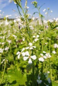 Biene fliegt Zwischenfruchtblüte an