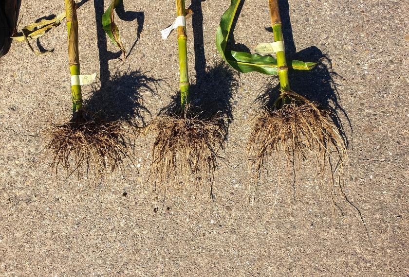 Vergleich Wurzelmasse Maisversuch von weniger Wurzeln nach mehr Wurzelmasse
