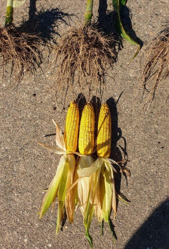 Maiskolben aus dem Maisversuch nebeneinander
