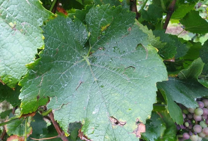 abgeheilter und geschlossener Hagelschaden am Weinblatt