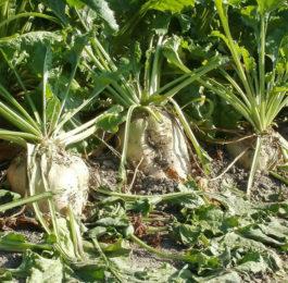 Zuckerruebenernte-Blatt-Verarbeitung-regenerativ-mit-Ferment-Bodenverjuenger